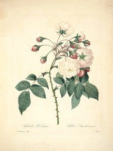 Adelaide of Orleans Rose, Plate 51 by Pierre-Joseph Redoute | Fine Art Print