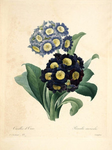 Art Prints of Auricula, Plate 86 by Pierre-Joseph Redoute