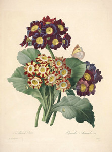 Art Prints of Auricula, Plate 141 by Pierre-Joseph Redoute