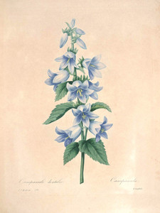 Art Prints of Bellflower, Plate 109 by Pierre-Joseph Redoute
