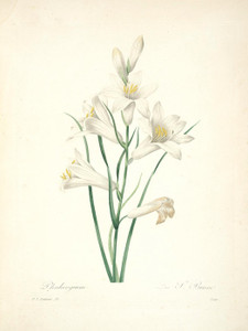 Art Prints of Bulbine Lily, Plate 21 by Pierre-Joseph Redoute