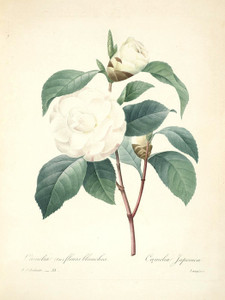 Art Prints of Camelia Japonica, Plate 36 by Pierre-Joseph Redoute