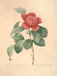 Art Prints of Camellia, Plate 40 by Pierre-Joseph Redoute