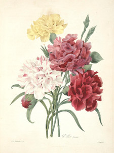 Art Prints of Carnation, Plate 4 by Pierre-Joseph Redoute