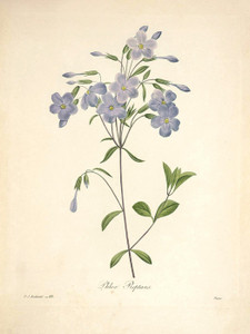 Art Prints of Crawling Phlox, Plate 91 by Pierre-Joseph Redoute