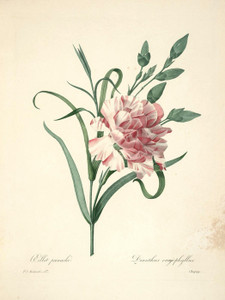 Art Prints of Dianthus, Plate 60 by Pierre-Joseph Redoute