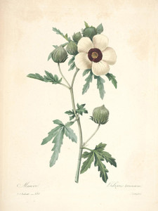 Art Prints of Flower of an Hour, Plate 135 by Pierre-Joseph Redoute