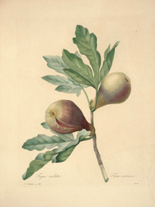 Art Prints of Fig, Plate 45 by Pierre-Joseph Redoute