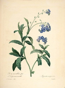 Art Prints of Forget Me Not, Plate 115 by Pierre-Joseph Redoute