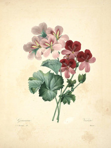 Art Prints of Geranium, Plate 56 by Pierre-Joseph Redoute