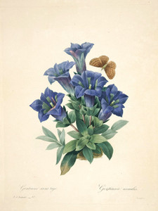 Art Prints of Gentian, Plate 100 by Pierre-Joseph Redoute