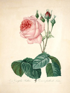 Art Prints of Great Cabbage Leaved Rose, Plate 105 by Pierre-Joseph Redoute