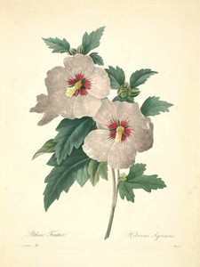 Art Prints of Hibiscus, Plate 34 by Pierre-Joseph Redoute