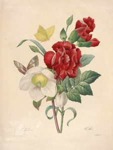 Art Prints of Hellebore, Plate 137 by Pierre-Joseph Redoute