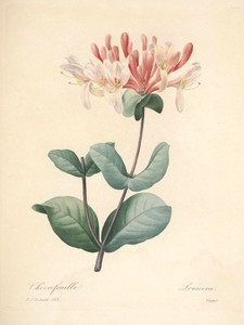 Art Prints of Honeysuckle, Plate 126 by Pierre-Joseph Redoute