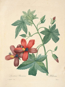 Art Prints of Hibiscus, Plate 61 by Pierre-Joseph Redoute