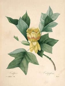 Art Prints of Liriodendron-Tulipifera, Plate 87 by Pierre-Joseph Redoute