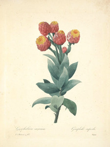 Art Prints of Milkweed, Plate 50 by Pierre-Joseph Redoute