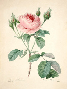 Art Prints of Moss-Rose, Plate 90 by Pierre-Joseph Redoute