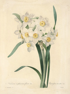 Art Prints of Narcissus, Plate 8 by Pierre-Joseph Redoute