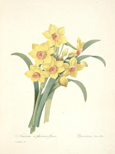 Art Prints of Narcissus, Plate 11 by Pierre-Joseph Redoute