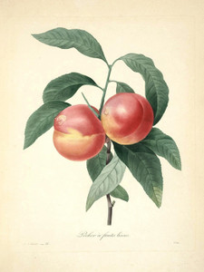 Art Prints of Peache, Plate 31 by Pierre-Joseph Redoute