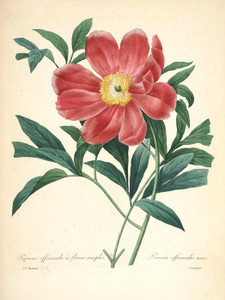 Art Prints of Peony, Plate 127 by Pierre-Joseph Redoute