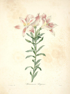 Art Prints of Peruvian Lily, Plate 29 by Pierre-Joseph Redoute