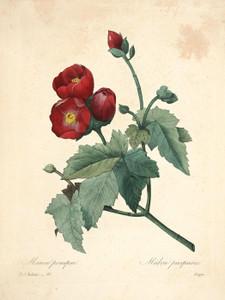 Art Prints of Purple Mallow, Plate 96 by Pierre-Joseph Redoute