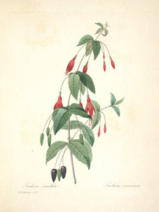 Art Prints of Scarlet Fuchsia, Plate 30 by Pierre-Joseph Redoute