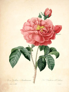 Art Prints of Rose of Orleans, Plate 131 by Pierre-Joseph Redoute
