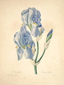 Art Prints of Sweet Iris, Plate 104 by Pierre-Joseph Redoute