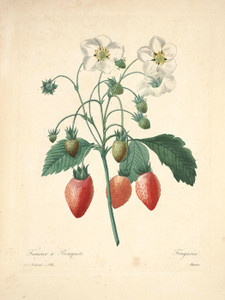 Art Prints of Strawberry, Plate 106 by Pierre-Joseph Redoute