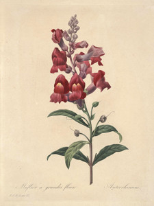 Art Prints of Snapdragon, Plate 15 by Pierre-Joseph Redoute