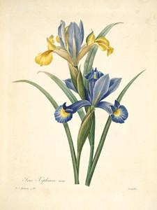 Art Prints of Spanish Iris, Plate 94 by Pierre-Joseph Redoute