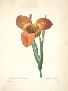 Art Prints of Tiger Flower, Plate 38 by Pierre-Joseph Redoute