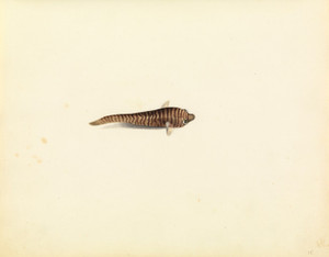 Art Prints of Cling Fish by W. B. Gould