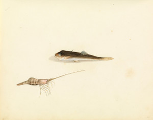 Art Prints of Shrimp and Unidentified Fish by W. B. Gould