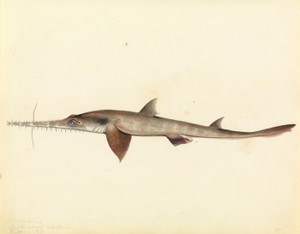 Art Prints of Saw Shark by W. B. Gould