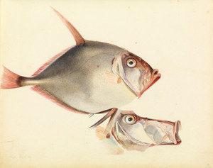 Art Prints of Silver Dory by W. B. Gould