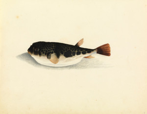 Art Prints of Toad Fish by W. B. Gould
