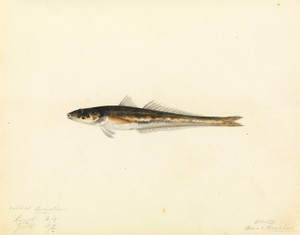 Art Prints of unidentified fish by W. B. Gould