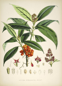 Art Prints of Aucuba Himalaica by Walter Hood Fitch