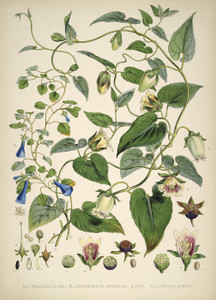 Codonopsis Gracilis by Walter Hood Fitch | Fine Art Print