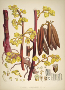 Art Prints of Cyrtosia Lindleyana by Walter Hood Fitch