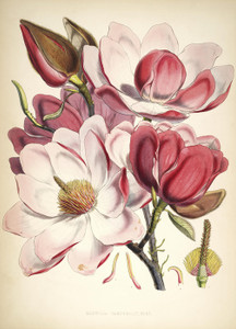 Art Prints of Magnolia by Walter Hood Fitch