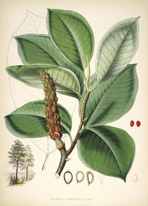 Art Prints of Magnolia Campbellii by Walter Hood Fitch