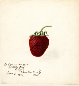 Art Prints of California Strawberry by William Henry Prestele
