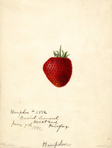 Art Prints of Hampden Strawberry by William Henry Prestele