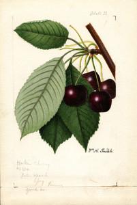 Art Prints of Hoke Cherries by William Henry Prestele